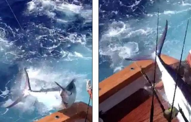 Blue Marlin Jumps into the boat 1