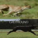 Cheetah vs Greyhound
