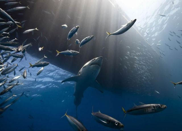 Great white shark of Guadalpe island National Geographic / Marc Henauer