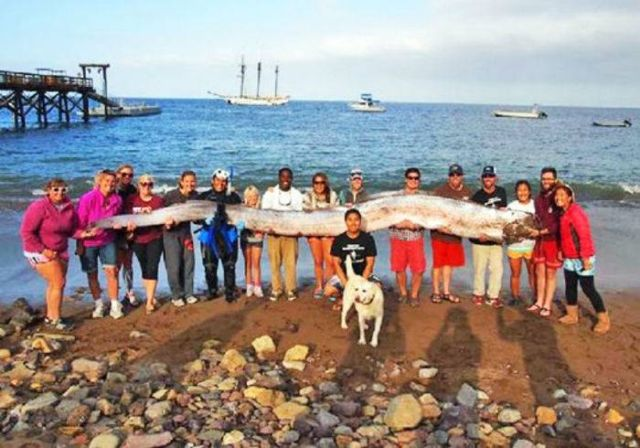 18-foot-long Oarfish discovered | wordlessTech Oarfish 56 Ft
