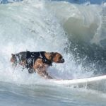 Dog Surfing Competition 2013
