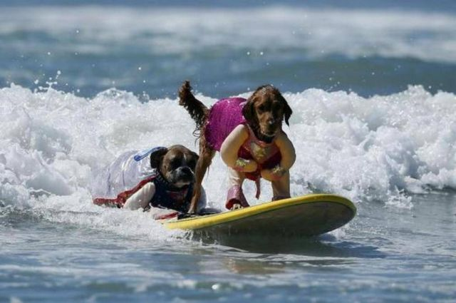 Dog Surfing Competition 2013 (2)