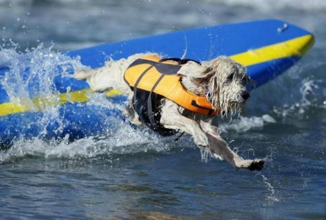 Dog Surfing Competition 2013 (1)