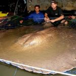 Half-ton giant Freshwater Stingray