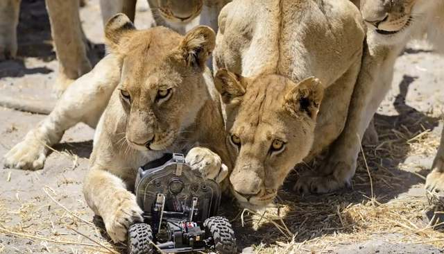 Camera buggy meets the lions 1