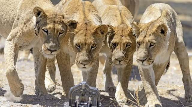 Camera buggy meets the lions (3)