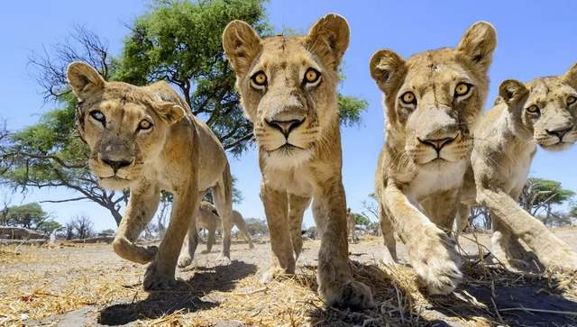 Camera buggy meets the lions (2)