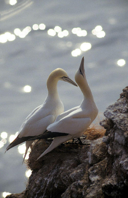 Tiny cameras attached to the back of gannets  (1)