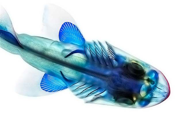 Cleared fish by Adam Summers 1
