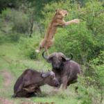 Heroic Buffalo launches Lion into the air