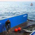 Secret of Great White Sharks revealed