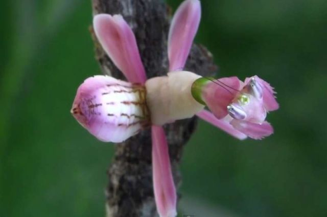 This pink flower is actually a mantis 1