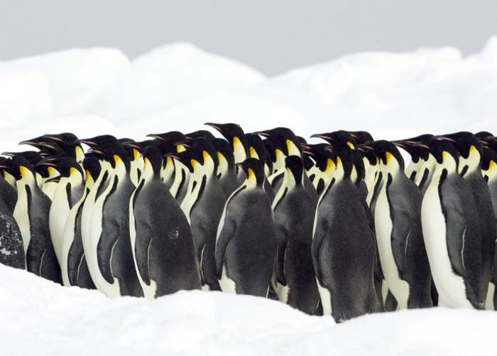 Why Penguins move like cars in traffic