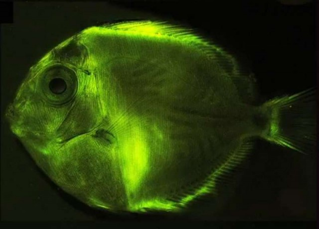 The Biofluorescence light that only Fish can see (2)