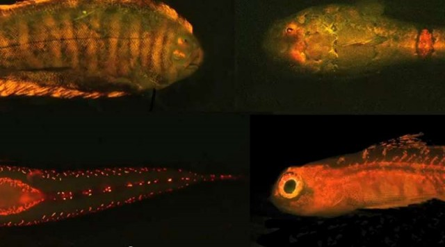 The Biofluorescence light that only Fish can see (1)