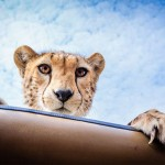 Curious Cheetah cub greets visitors
