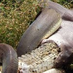 Snake eats Crocodile after 5 hour battle