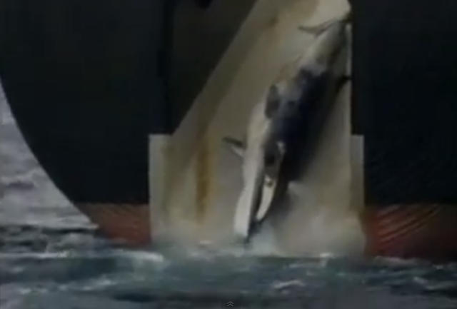 whale being hauled into a Japanese vessel