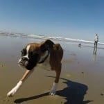 The joy of Life - two legged boxer Duncan Lou Who