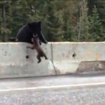 Bear Mum saves cub from motorway