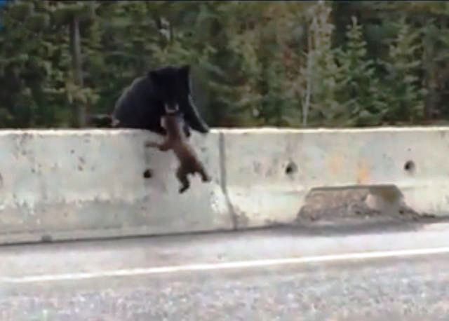 Bear Mum saves cub