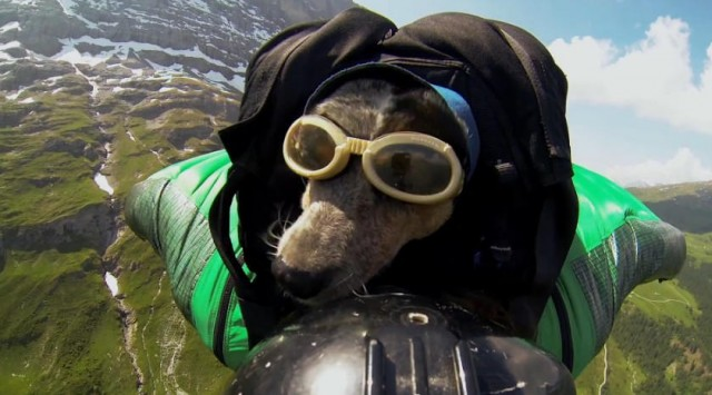 dog to fly on a Wingsuit