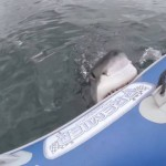 Great White Shark attacks Inflatable Boat!