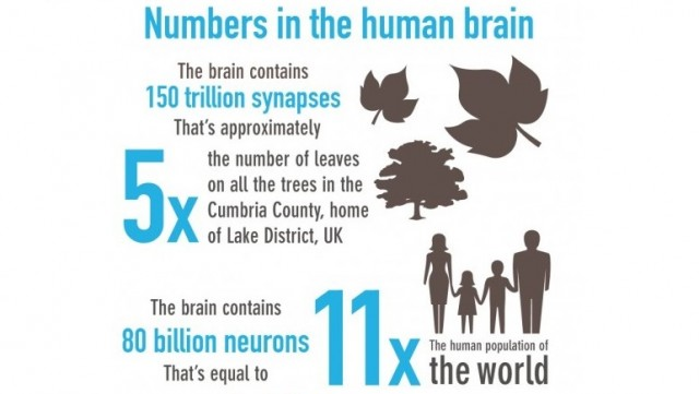 scale of the Human Brain