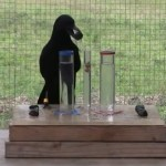 Clever crow solves puzzles to get food