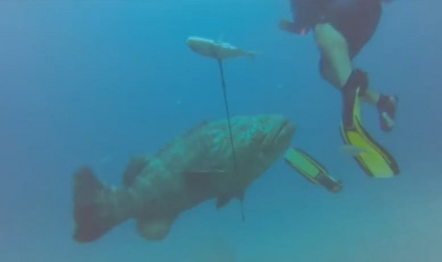 Goliath Grouper attacks