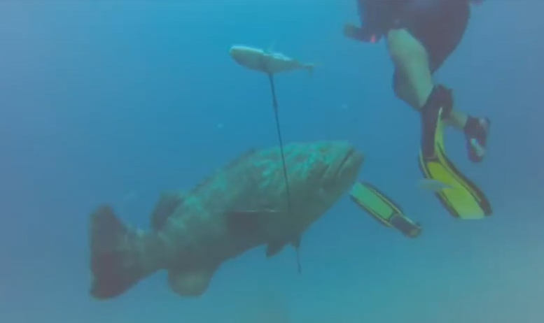 Goliath Grouper attacks off Jupiter Florida | wordlessTech