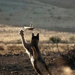 An incredible Caracal slaps down a bird in flight
