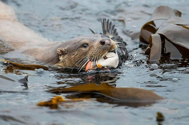 Animal Behaviour Winner. The Otter and the Puffin