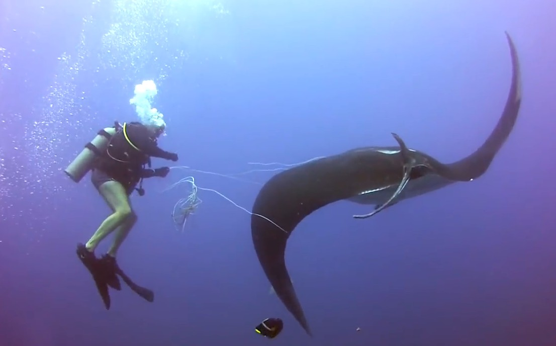 Traped Manta Ray