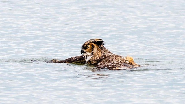 Owl Swiming