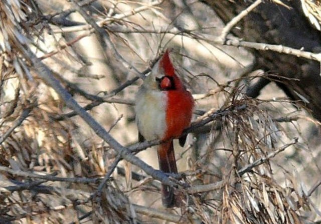 cardinal half-male and half-female