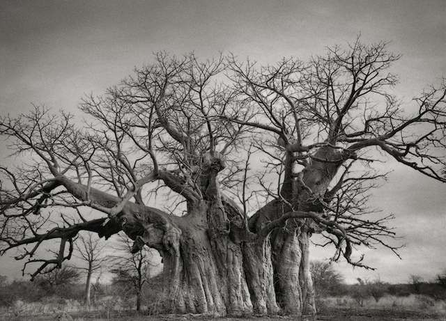 Bufflesdrift Baobab tree