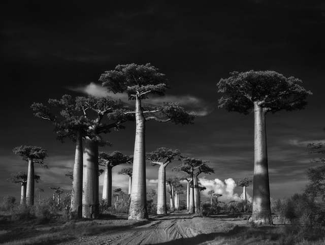 Avenue of the Baobabs trees