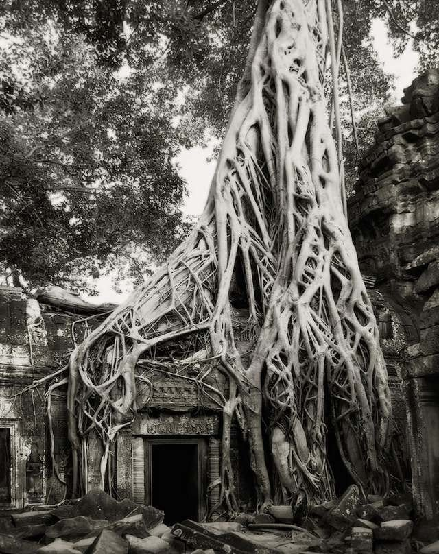 The Strangler Fig tree