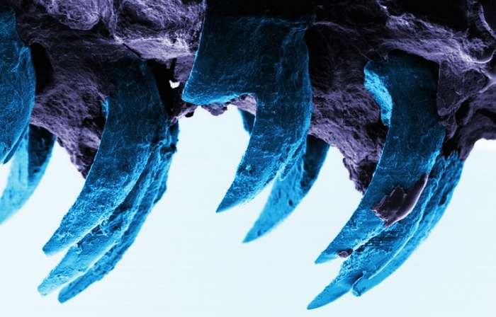 The teeth of the limpet