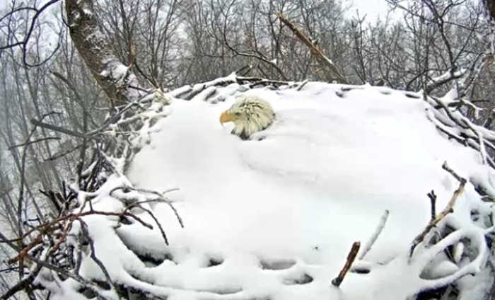 Snow-covered Bald Eagle