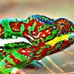 This is how Chameleons change Color