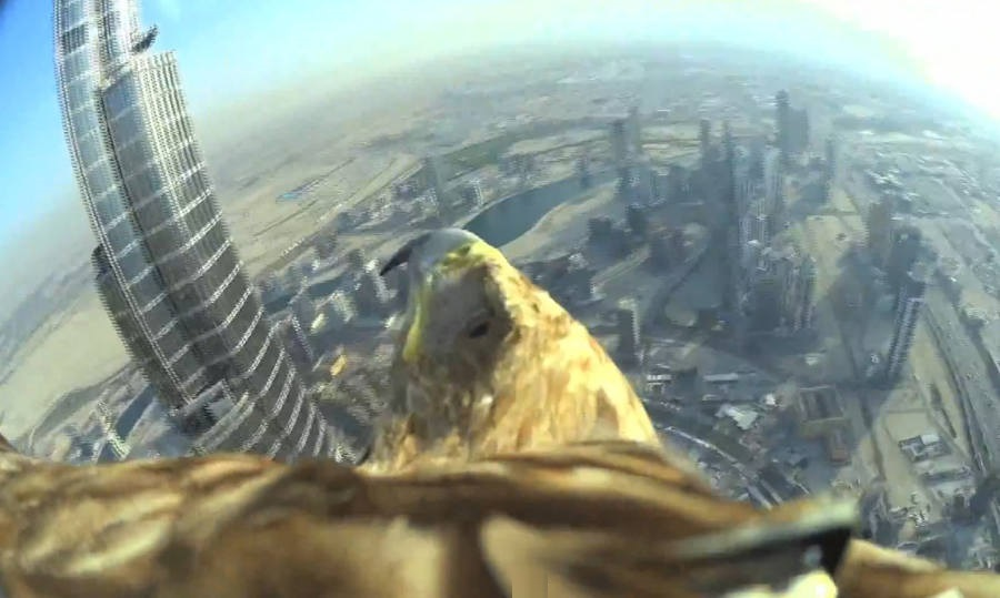 Eagle flight in Dubai