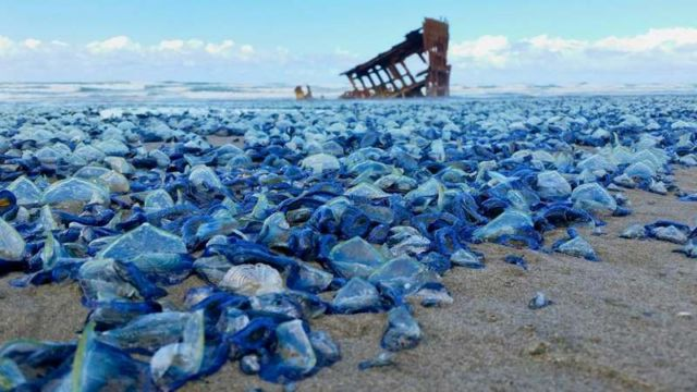 Blue Jellyfish washed ashore