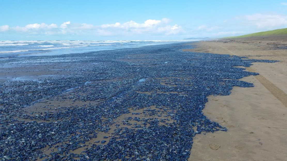 Weird Blue Jellyfish washed ashore on the West Coast