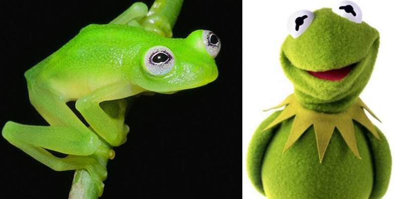 Real-life Kermit the Frog species