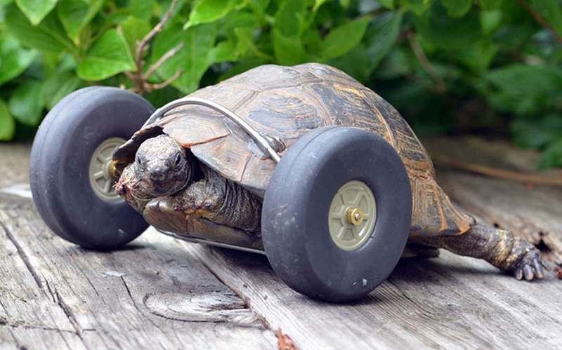 Tortoise gets wheels