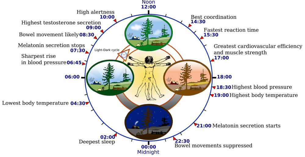 "The human ""biological clock"""