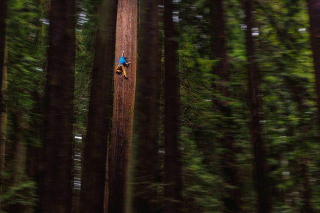 Free Climbing Huge Redwood
