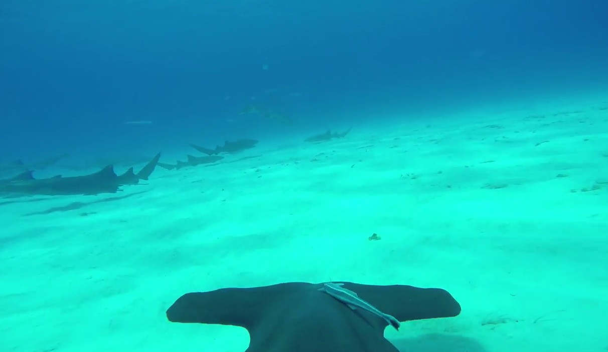 Hammerhead Shark's point-of-view